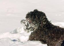 Chien russe noir hirsute de terrier fonctionnant dans la neige Photos stock