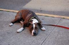 Chien s'étendant sur le trottoir en été images stock