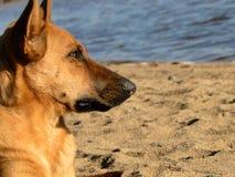 Chien, sable, jour ensoleillé, côte, vue Photos libres de droits