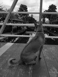 Chien sans abri malheureux noir et blanc se trouvant sur le pont images stock