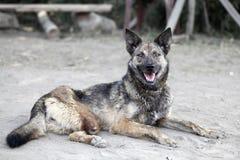 Chien sans la jambe Animal malheureux Image libre de droits