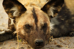 Chien sauvage africain Photo stock