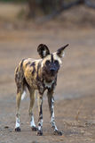 Chien sauvage africain Images stock