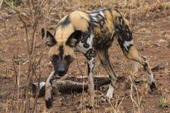Chien sauvage africain Photos libres de droits