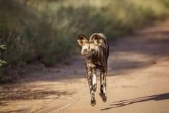 Chien sauvage africain en parc national de Kruger, Afrique du Sud images libres de droits