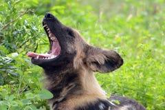 Chien sauvage africain, pictus de Lycaon Image libre de droits