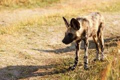 Chien sauvage - delta d'Okavango - Moremi N P Image libre de droits
