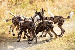 Chien sauvage - delta d'Okavango - Moremi N P Images libres de droits
