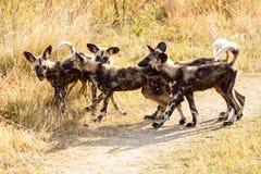 Chien sauvage - delta d'Okavango - Moremi N P Photos stock