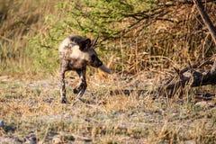 Chien sauvage - delta d'Okavango - Moremi N P Photographie stock