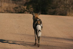 Chien sauvage sud-africain image stock