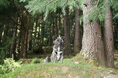 Chien se reposant au bord de la forêt. Photographie stock libre de droits