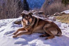 Chien se reposant sur la neige dans les montagnes Photographie stock libre de droits