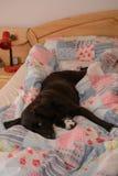 Chien se situant dans le lit de la chambre à coucher Photos stock
