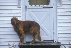 Chien se tenant à la porte de la maison Photos libres de droits