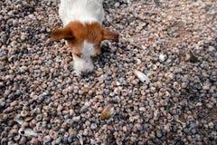 Chien se trouvant sur des coquillages sur la plage Image libre de droits