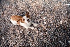 Chien se trouvant sur des coquillages sur la plage Image stock