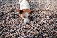Chien se trouvant sur des coquillages sur la plage Images stock