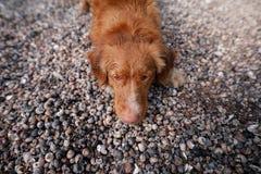 Chien se trouvant sur des coquillages sur la plage Photos stock