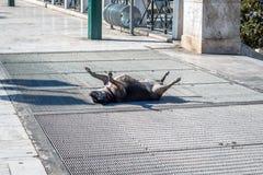 Chien se trouvant sur le plancher et prendre un bain de soleil Photos stock