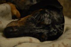 Chien sommeillant, dormant Photographie stock