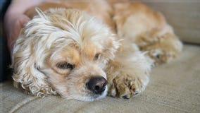 Chien somnolent étendu au sofa banque de vidéos