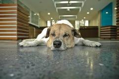 Chien somnolent dans le bureau Photo libre de droits