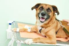 Chien sous la vaccination dans la clinique photos stock