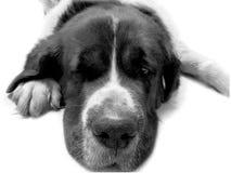 Chien St Bernard, ami de s animal de fond Images stock
