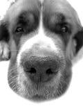 Chien St Bernard, ami de s animal de fond Images libres de droits