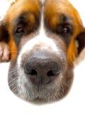 Chien St Bernard, ami de s animal de fond Photos stock