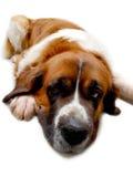 Chien St Bernard, ami de s animal de fond Photos libres de droits