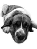 Chien St Bernard, ami de s animal de fond Photo stock