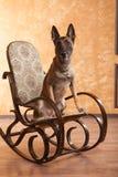 Chien sur la chaise de basculage Image stock