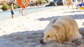 Chien sur la plage dans l'heure d'été Photo libre de droits