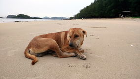 Chien sur la plage de la Thaïlande Photo stock