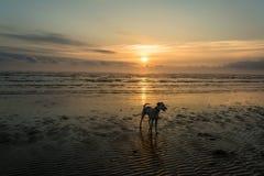 Chien sur la plage de lever de soleil Image stock