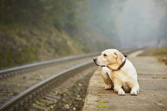 Chien sur la plate-forme ferroviaire Photos libres de droits