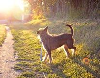 Chien sur la promenade dans le coucher du soleil photos libres de droits