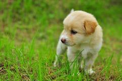 Chien sur le champ d'herbe vert d'été Image libre de droits