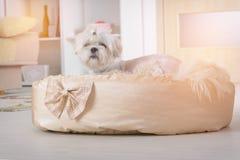 Chien sur le lit de chien Photographie stock