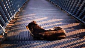 Chien sur les escaliers photo libre de droits