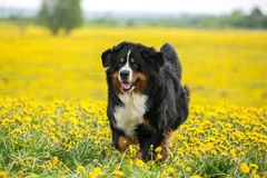Chien sur un champ jaune se développant Photo libre de droits
