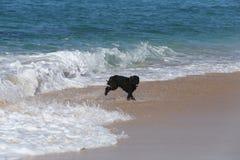 Chien surfant sur la plage Images stock