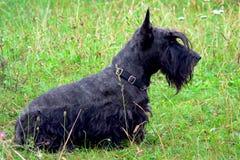 Chien terrier écossais 01 Photos stock