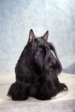 Chien terrier écossais 08 photo libre de droits