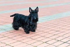 Chien terrier écossais Images libres de droits