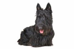 chien terrier écossais Photo libre de droits