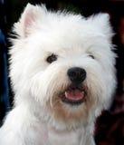 Chien terrier Photographie stock