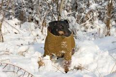 chien terrier allemand de chasse Images libres de droits